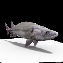 中华鲟-动物-鱼&水产-CG模型-3D城