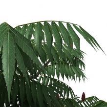 园林植物-植物-乔木-CG模型-3D城