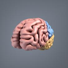 男人体解剖_神经系统_大脑-人物_角色-医学解剖-CG模型-3D城