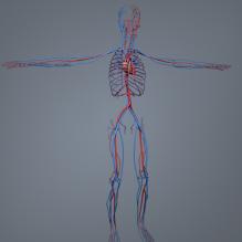 男人体解剖_血液循环系统-人物_角色-医学解剖-CG模型-3D城