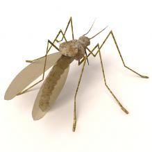 蚊子-动物-昆虫-CG模型-3D城
