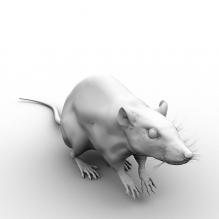 老鼠-动物-哺乳动物-CG模型-3D城